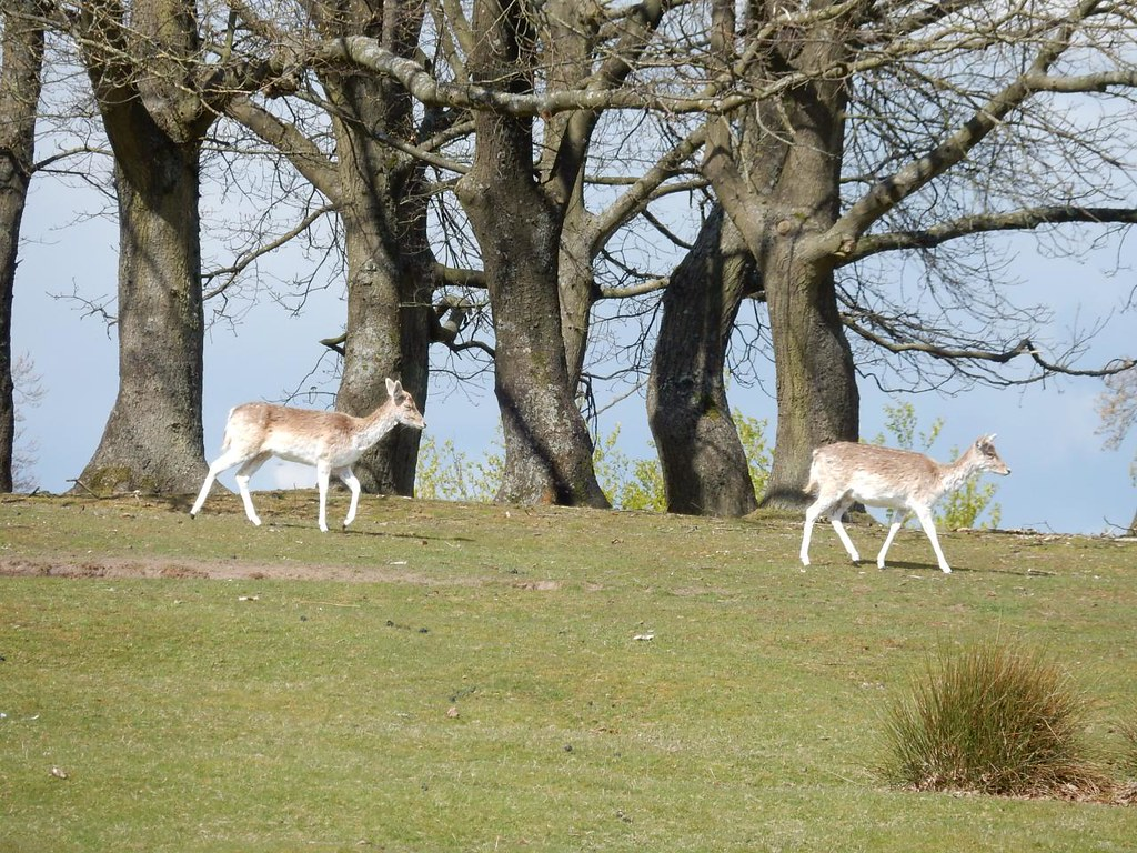 Deer, deer Knole Park, Sevenoaks to Westerham