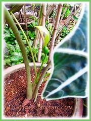 A flowering Alocasia sanderiana (Kris Plant, Sander's Alocasia, African Mask), Feb 25 2016