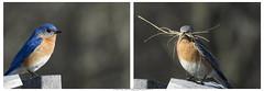 Merlebleu de l'est / Eastern Bluebird / Sialia sialis (male & female)