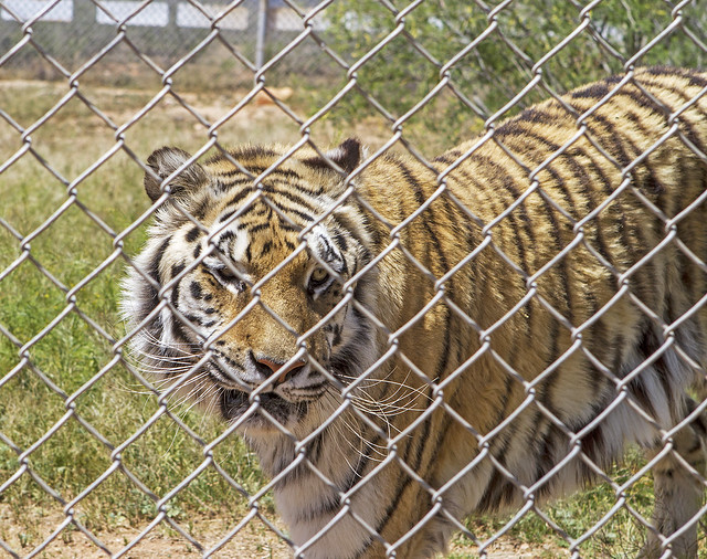 Tiger 126_7d1__250416