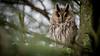 Ransuil / Asio otus / Long-eared Owl by Dirk-Jan van Roest