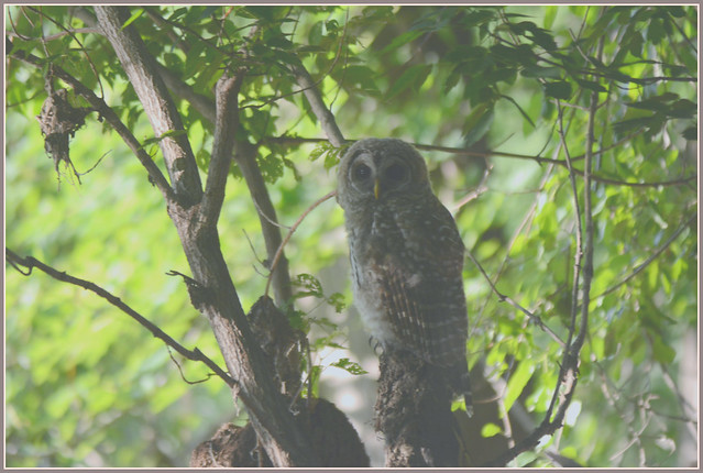 ``` Barred Owl Shaded ```