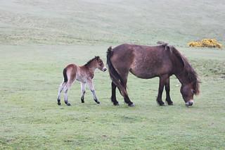 20150502_5987-Exmoor-ponies_resize