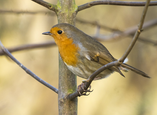 Robin, The Lodge RSPB, 7th Feb 2016