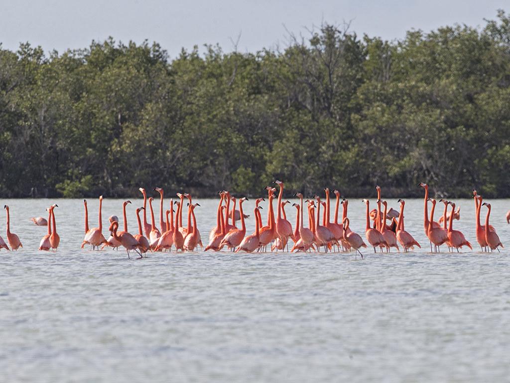 American Flamingo  Cuba