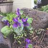 Violets!!!!!! #spring #flowers