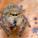 Phidippus princeps jumping spider with prey by Tibor Nagy