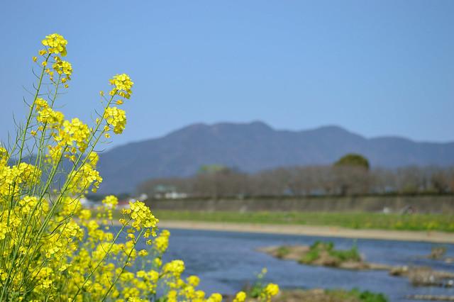 遠賀川河川敷のナノハナ