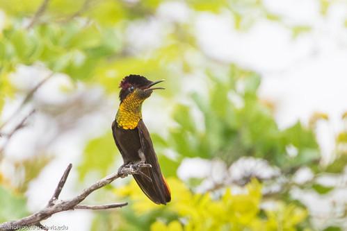 Ruby-topaz Hummingbird (Chrysolampis mosquitus), Rio de Pedras near Canudos, Bahia, BR, 20160114-119.jpg