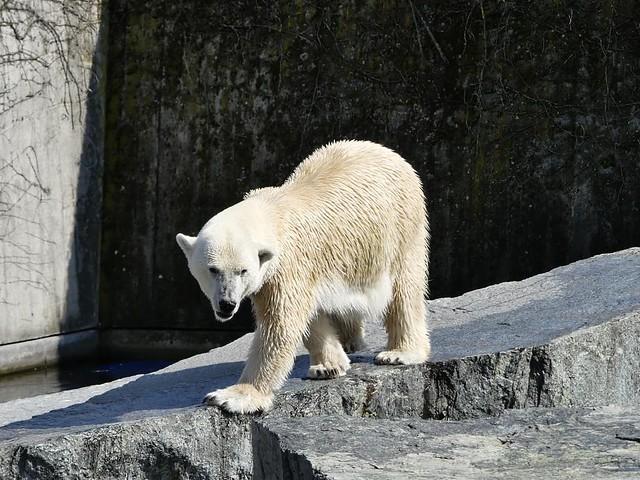Wilhelma, Eisbär Corinna