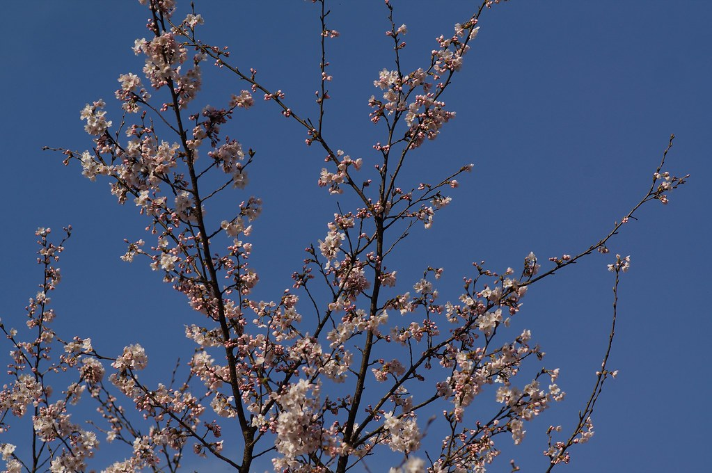 Cherry Blossoms x Carl Zeiss Planar 85mm F1.4 AEG