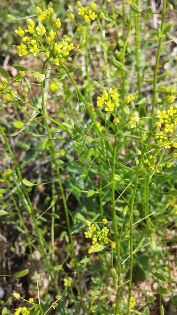 동네한바퀴: 아침산책길 - 노란 꽃다지
