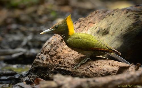 นกหัวขวานใหญ่หงอนเหลือง / Greater Yellownape / Chrysophiegma flavinucha (female)
