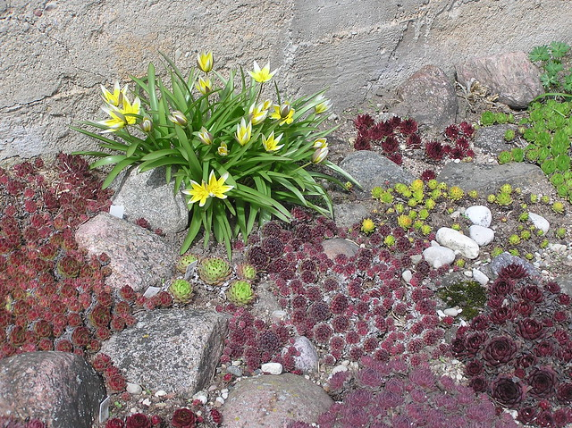 Tulipa tarda in Sempervivum Bed