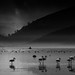 Nine Flamingos on Parade by Malcolm Carlaw