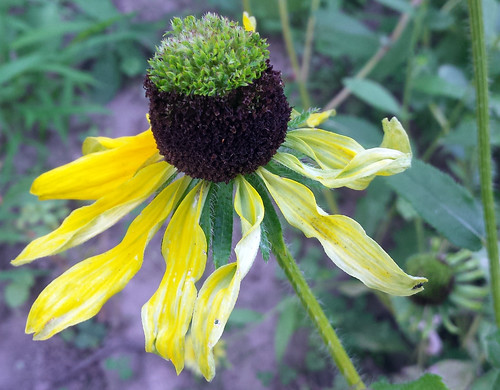 black-eyed susan with tiny green flowers growing out of the brown cone