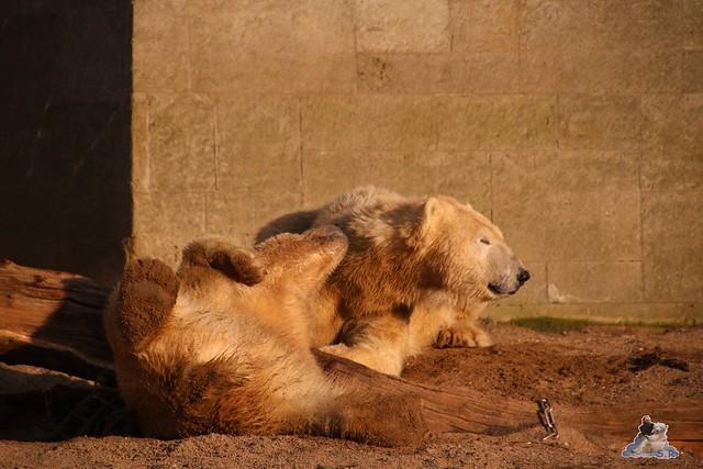 Eisbär Fiete im Zoo Rostock  0334