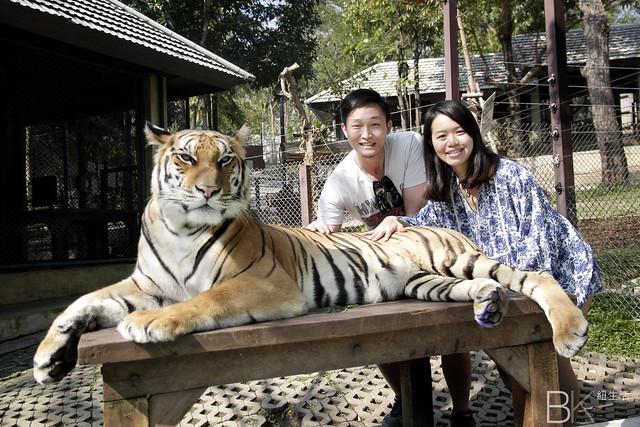 泰國清邁 | 老虎王國 Tiger Kingdom – 與老虎親密接觸