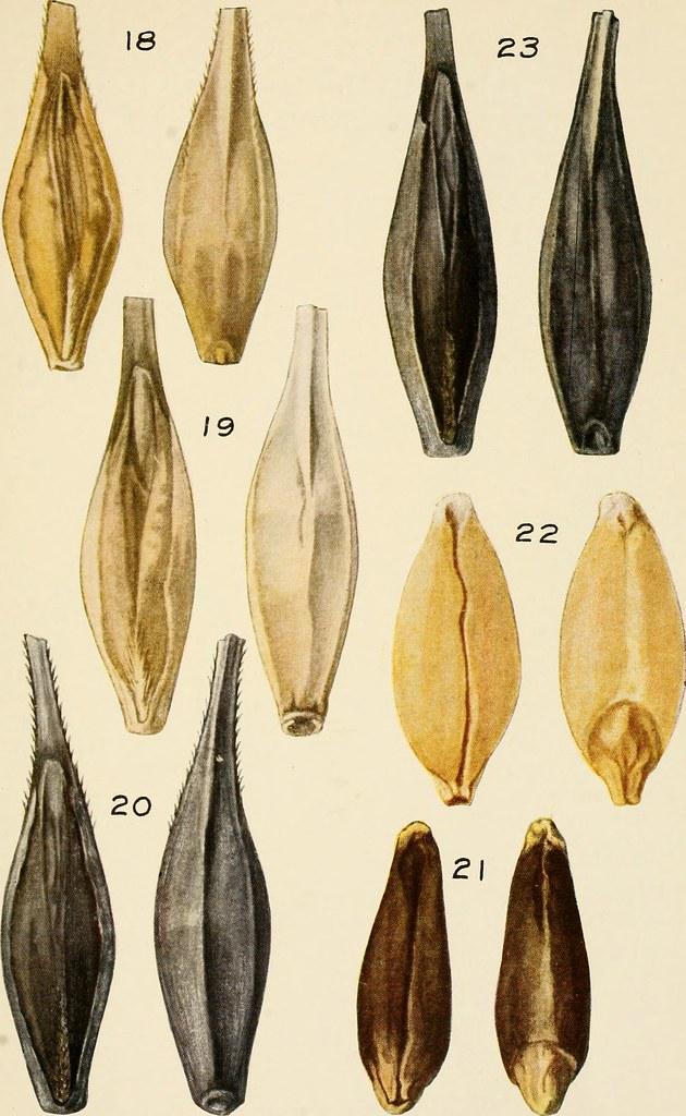 barley-varieties
