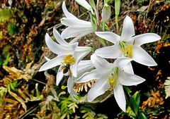 Lilium candidum Madonnenlilie Λίλιο το πάλευκο