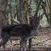 Stags at Bolderwood, New Forest
