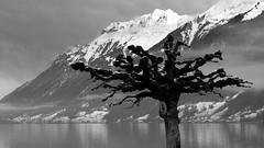 Plane tree at Lake Brienz