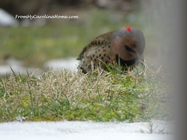 Northern Flicker ~ From My Carolina Home