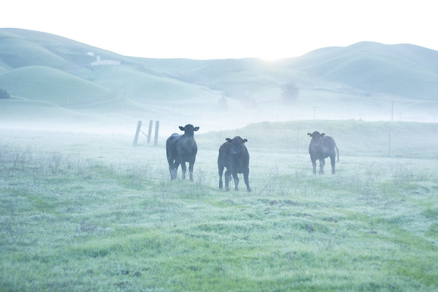 Cows of the mist