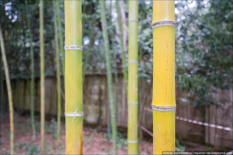 Бамбук!