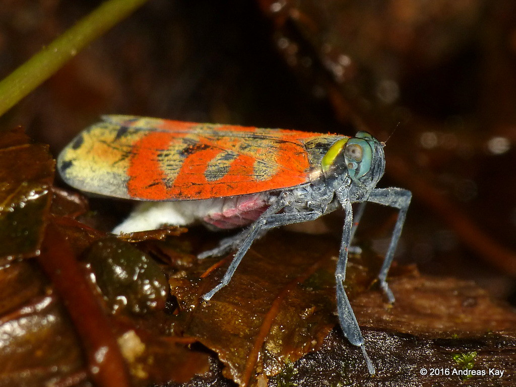 Pretty Fulgoroid planthopper, Carrionia sp.? Lophopidae