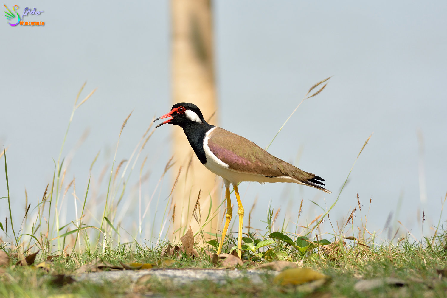 Red-wattled_Lapwing_2184