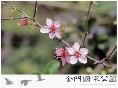郁李-01