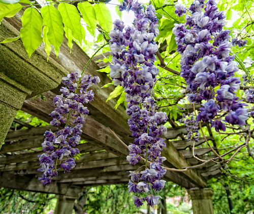Wisteria at Brooklyn Botanic Garden, Spring