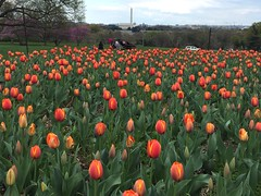 field of tulips, Washington Monument