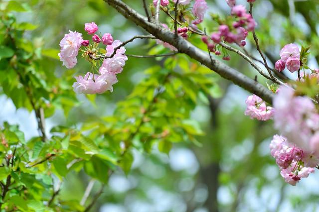 サクラ-フクロクジュ(福禄寿)