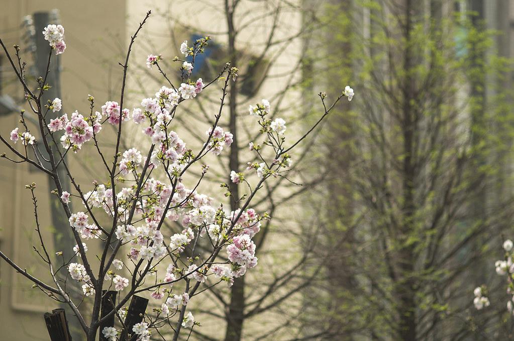 有櫻花就夠了