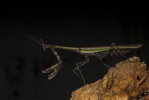 Zoolea sp ♂ (Mantidae, Vatinae)
