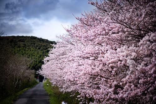 有帆川の桜 02
