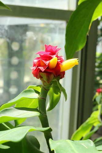 Costus barbatus Suess.