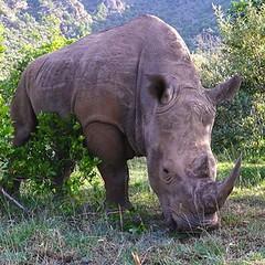 Walking with Amazing Rhino