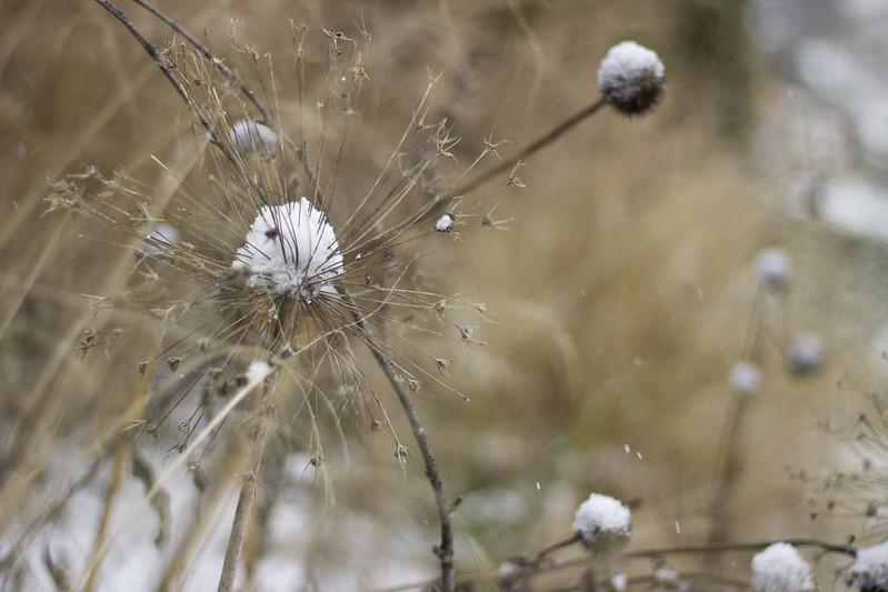 snowy allium