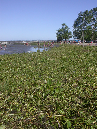 Flooded with water hyacinths