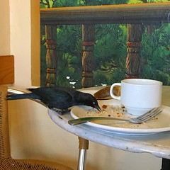 My companion at the coffee shop this afternoon #blackbird #putabirdonit