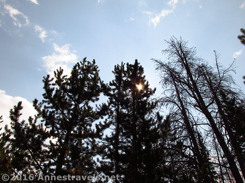 The sun shines through the pines, Wind River Range, Wyoming