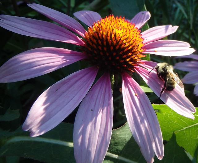 bumblebee lying in the middle of a pink petal