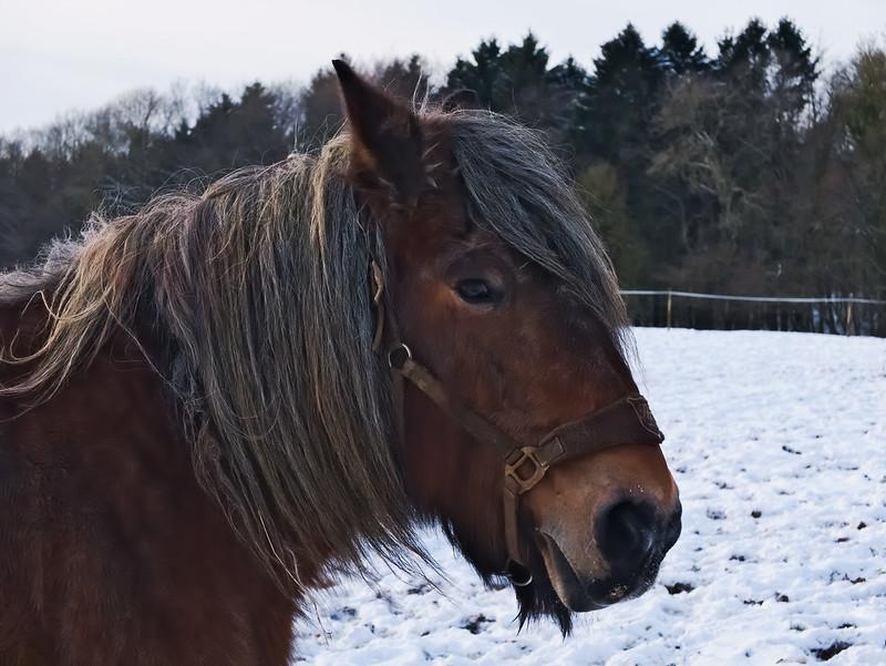 Ardennais dans les dernières neiges 24291345700_c743e6f675_c