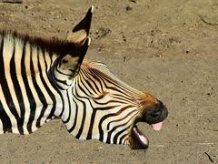 GaiaZOO - Zebra - Gemaakt door Hans Janssen