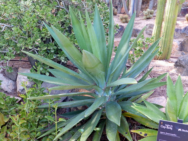 Header of Agave fourcroydes
