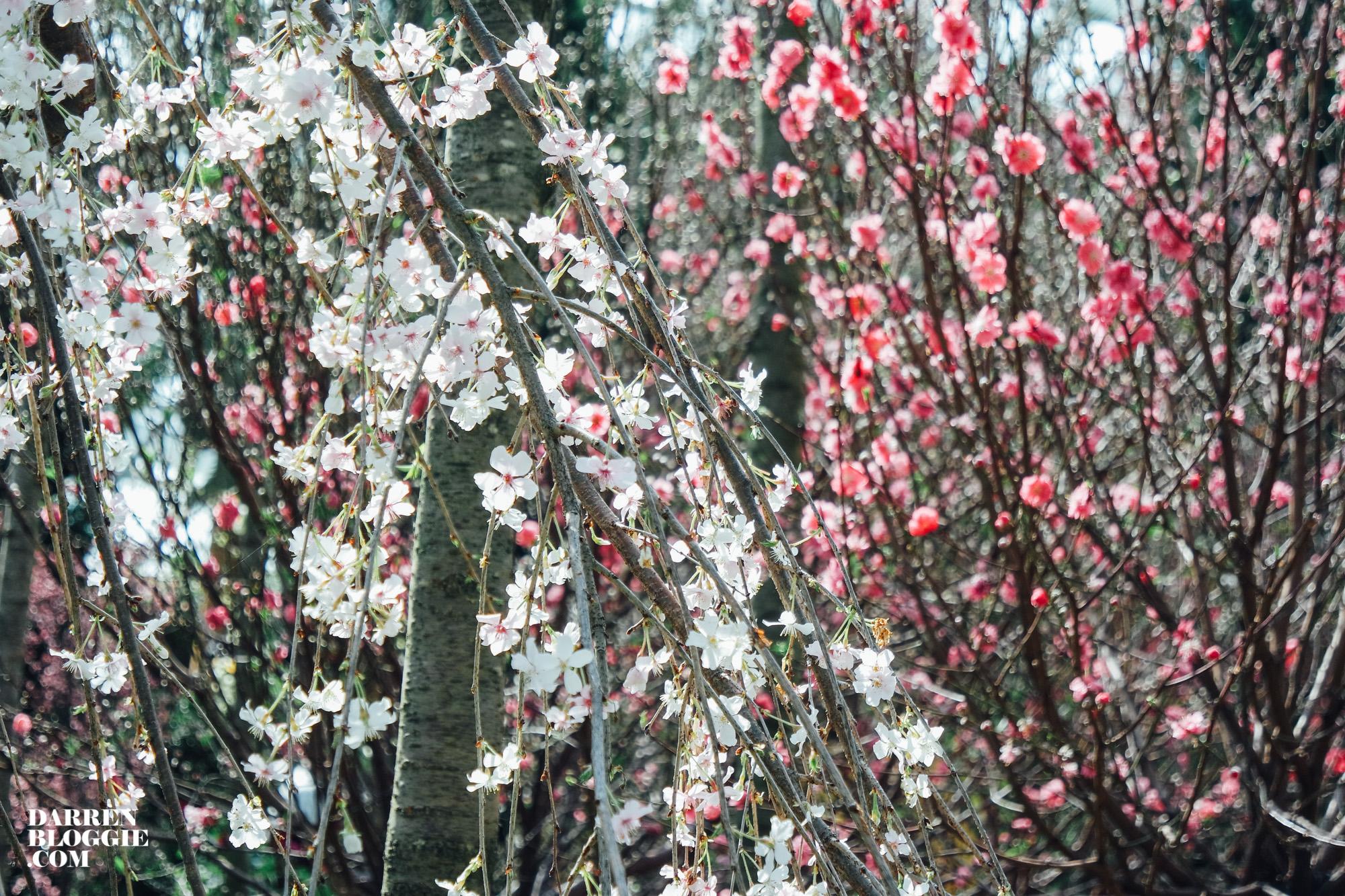 Sakura In Blooms At Gardens By The Bay Singapore Darren