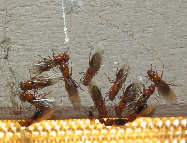 Formicidae Formicinae>Opisthopsis Strobe ant DSCF3767